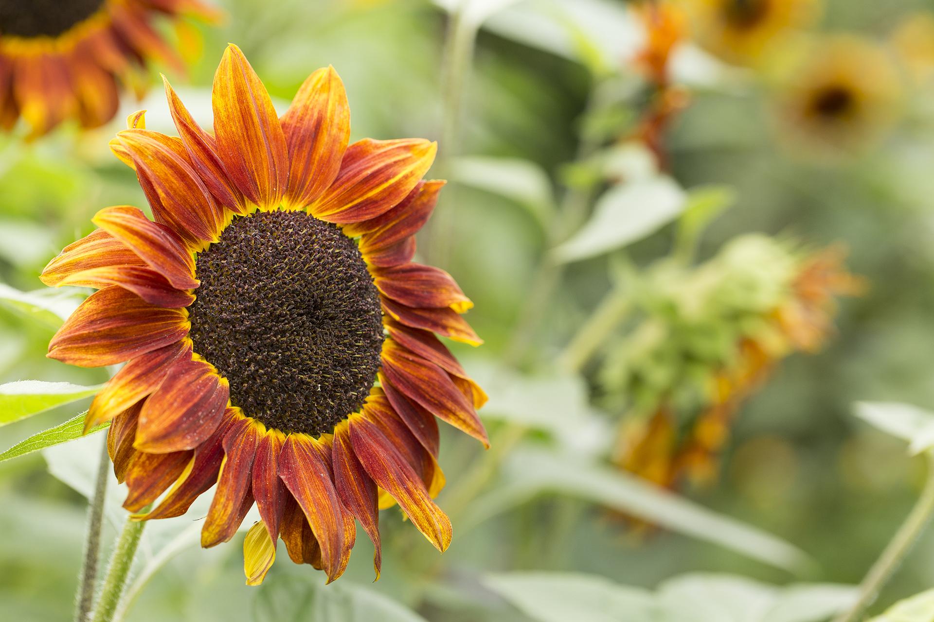 Sunflower in The Ridgeline Trust Garden, Reading