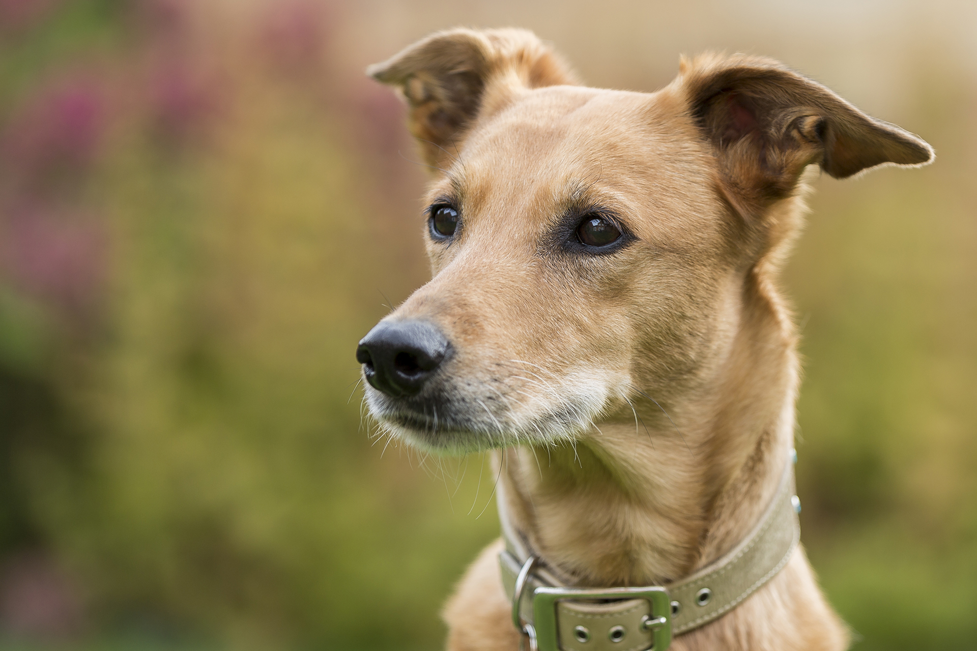 Lurcher dog photograph
