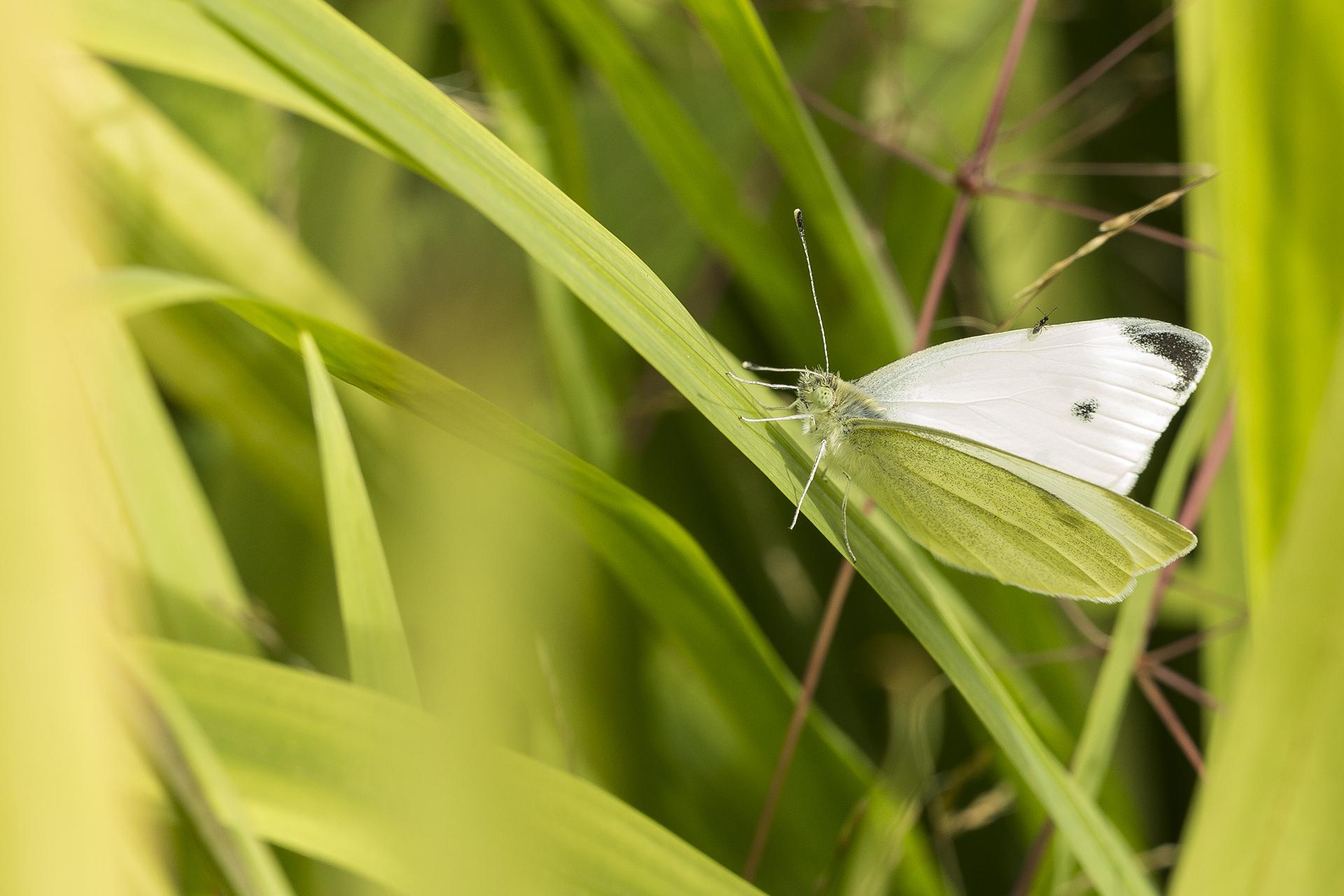 White butterfly in The Ridgeline Trust garden, Reading